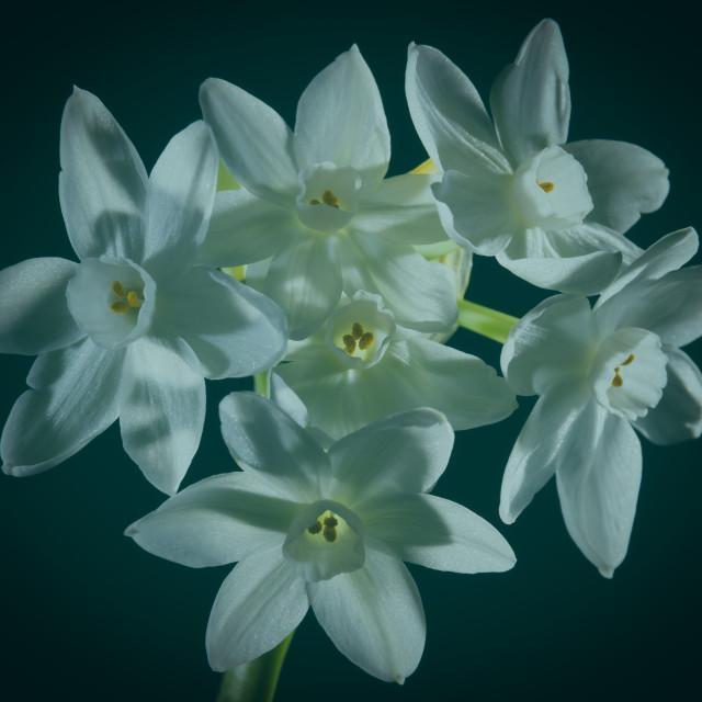 """Narcis Strong Green"" stock image"