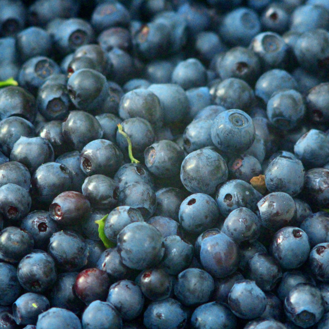 """berries of bilberry"" stock image"
