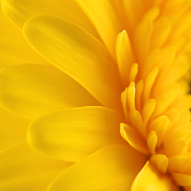 """Yellow gerbera daisy flower as a background"" stock image"