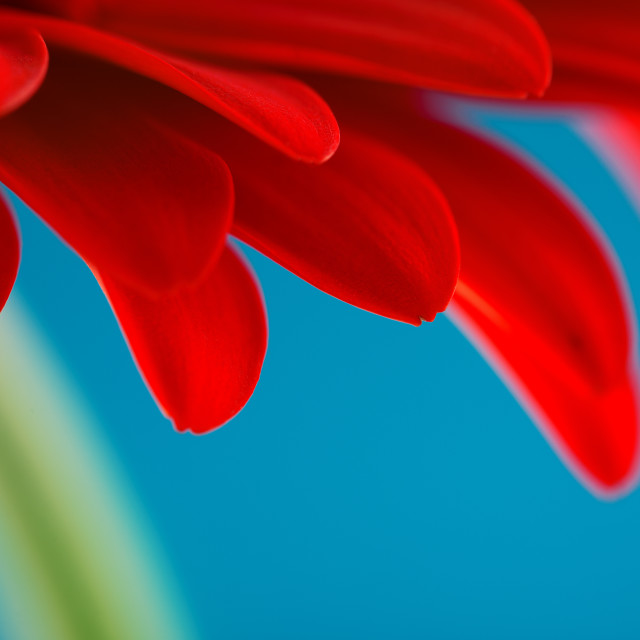 """Red gerbera daisy flower isolated on blue background"" stock image"