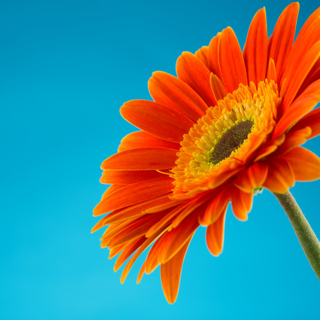 """Beautiful orange gerbera flower isolated"" stock image"