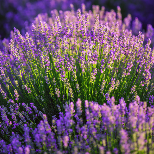 """Lavender field in Provence"" stock image"
