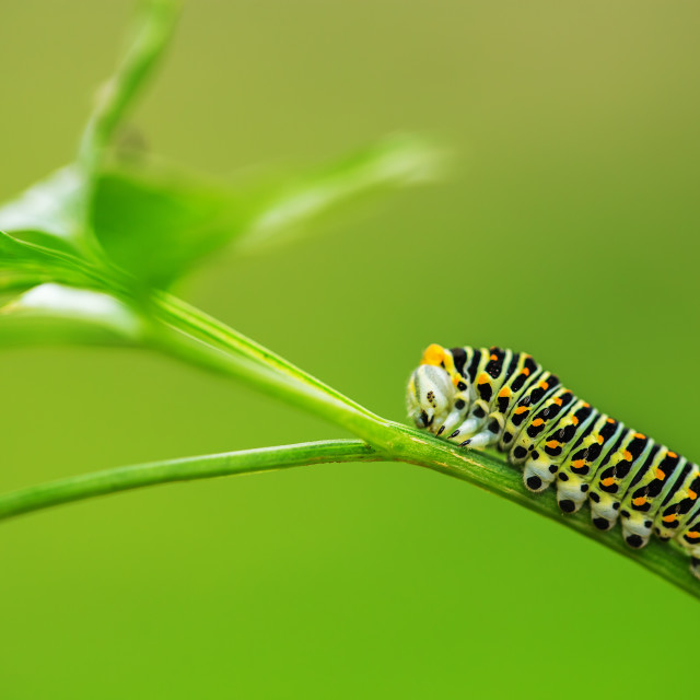 """Beautiful green caterpillar creeps on a green grass"" stock image"
