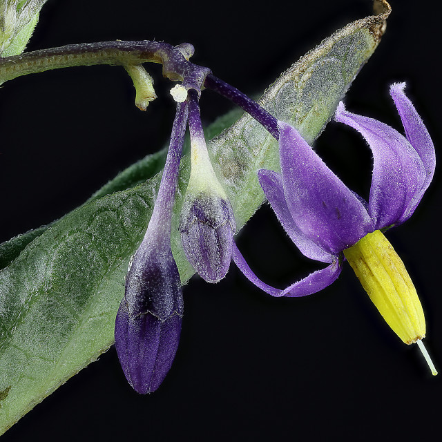 """Bittersweet ,Solanum dulcamara"" stock image"