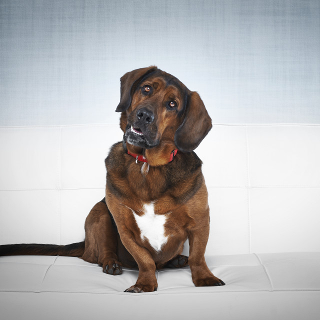 """""""Dog on white couch"""" stock image"""