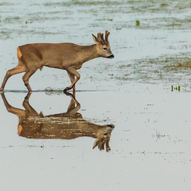 """Roe Buck Reflection"" stock image"