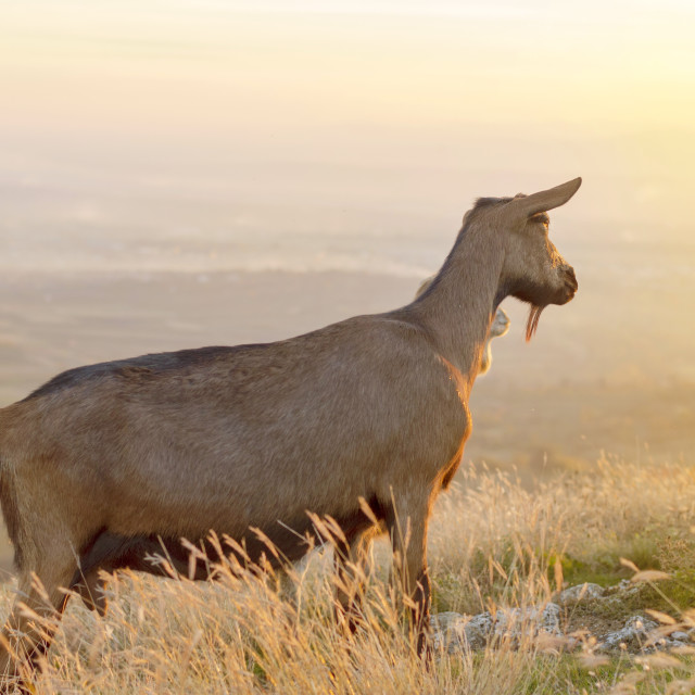 """Goat standing in the field facing the sunset"" stock image"