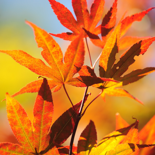 """Autumn Leaves of Japanese Maple Tree"" stock image"