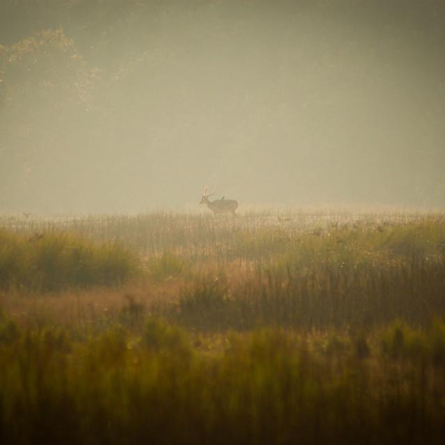 """That Deer in Sundarbans"" stock image"