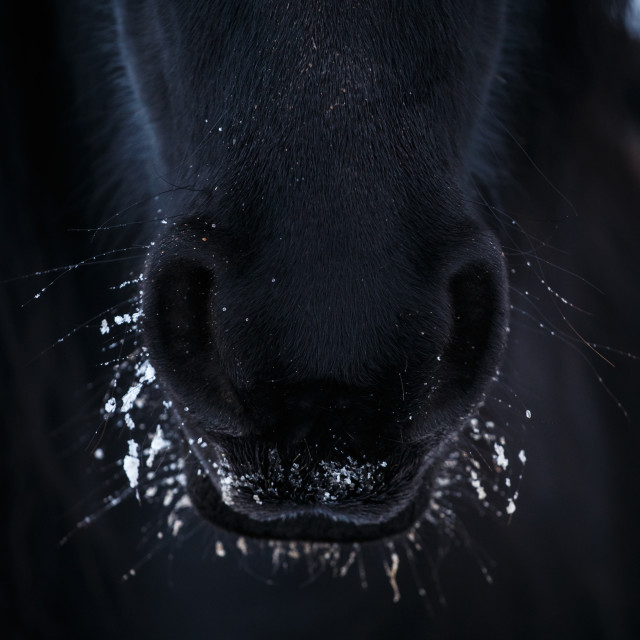"""""""Nostrils of friesian horse in to snow close up"""" stock image"""