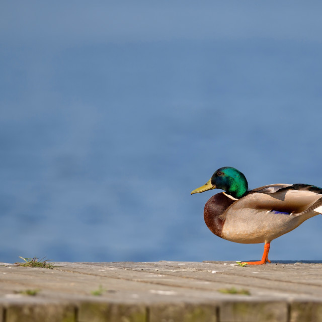 """""""Duck in the wild"""" stock image"""