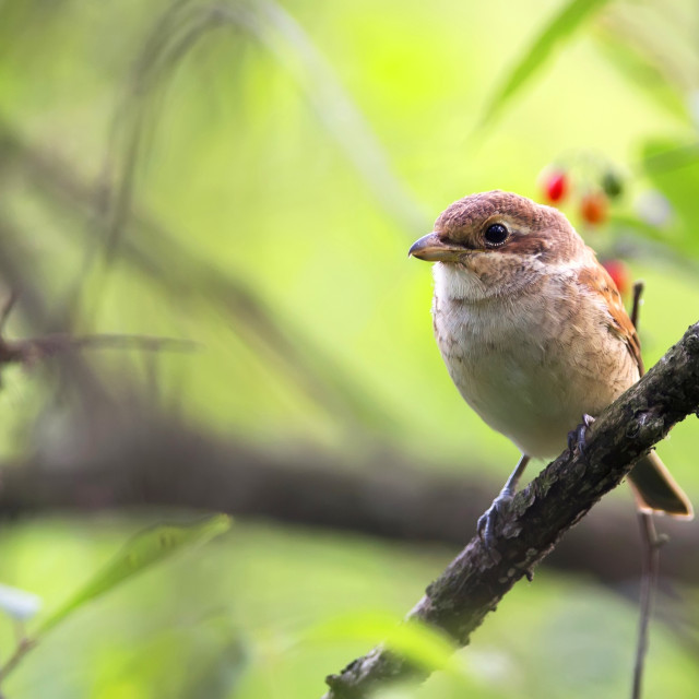 """Red-backed Shrike in the wild"" stock image"