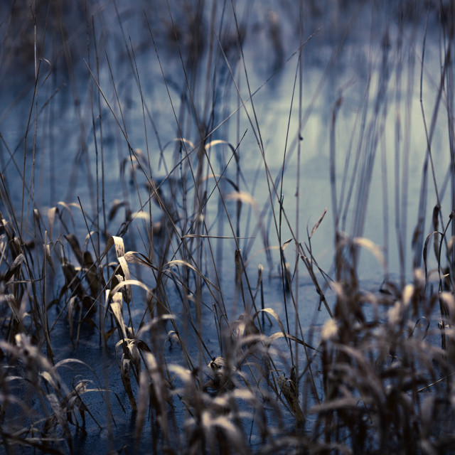 """Reeds in blue and bronze"" stock image"