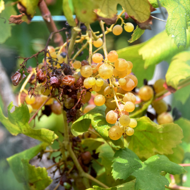 """Burnt white wine grapes, unpicked"" stock image"