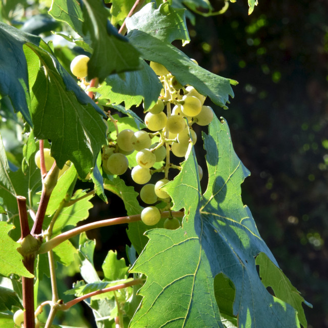 """White wine grapes, ripe on the vine"" stock image"