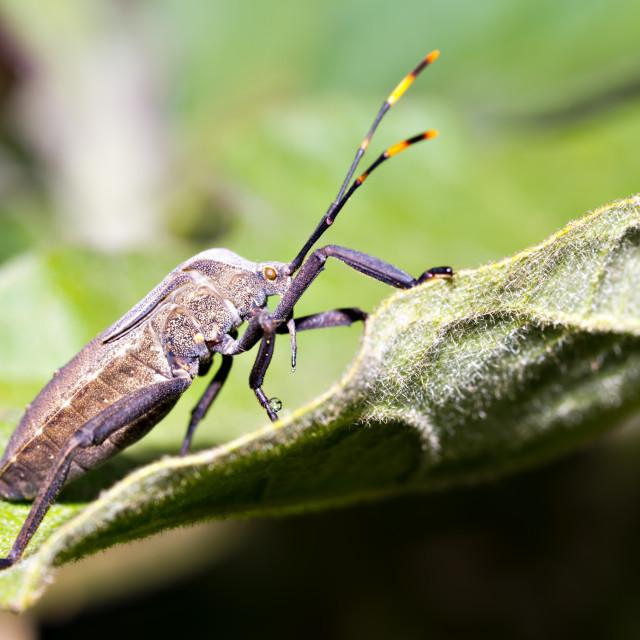 """""""Big-Legged Bug"""" stock image"""
