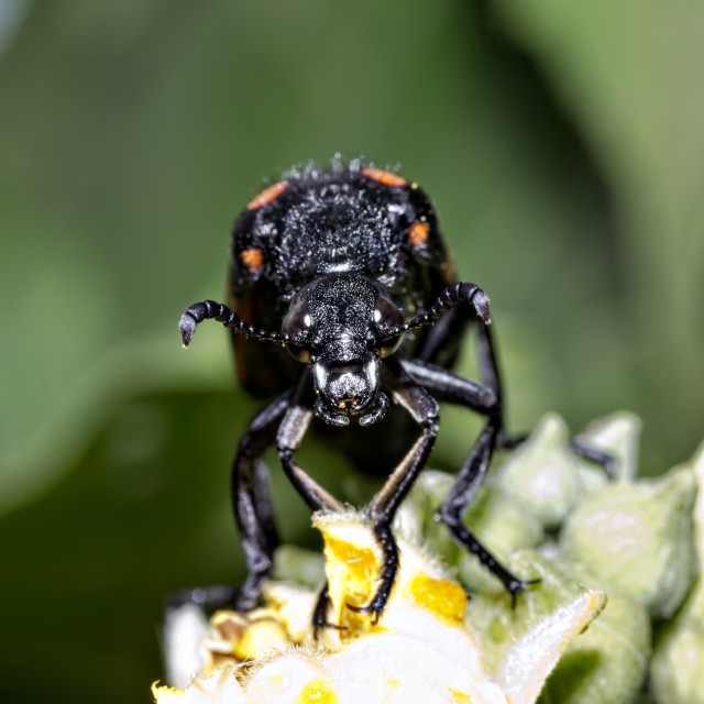 """Blister Beetle"" stock image"