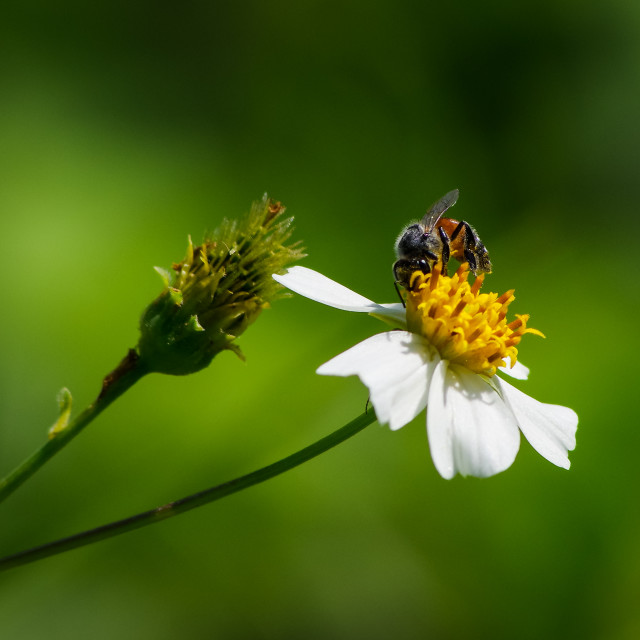 """Hard working bee on spring's sunlight"" stock image"