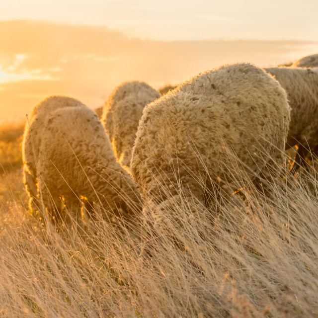 """Sheep grazing in the field enjoying last minutes of sunshine"" stock image"