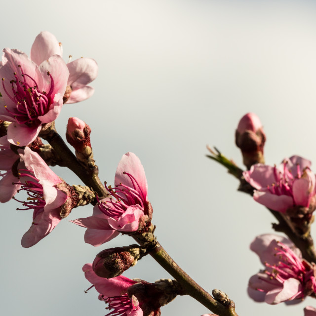 """The peach flowers"" stock image"