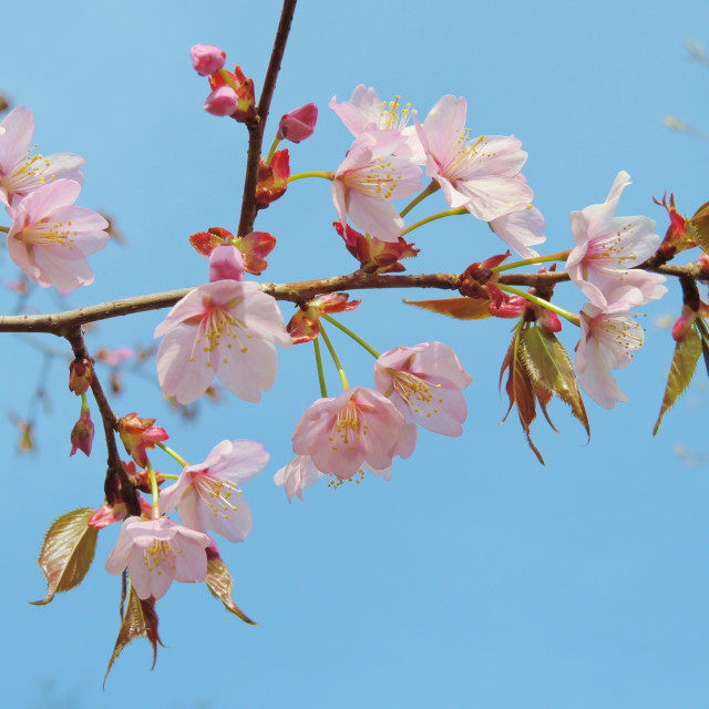 """Pink Cherry Blossom."" stock image"