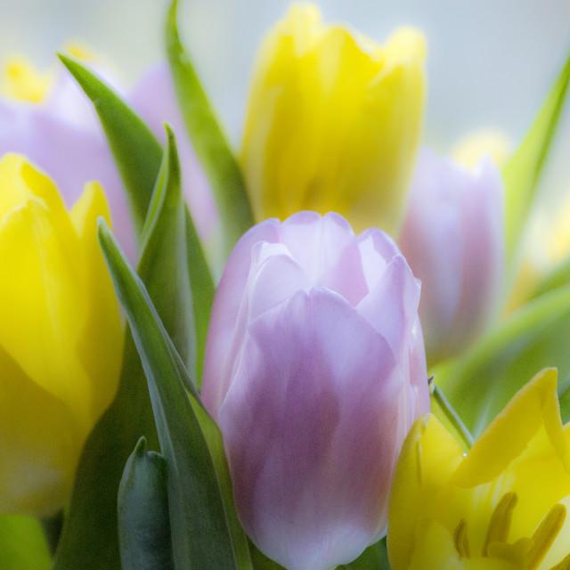 """Pastel Tulips"" stock image"