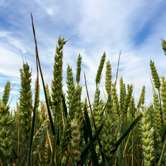 """Corn"" stock image"