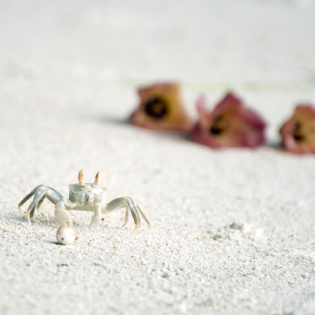 """""""Sand crab on the beach"""" stock image"""