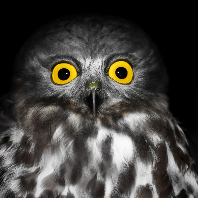 """Owl's Eyes"" stock image"