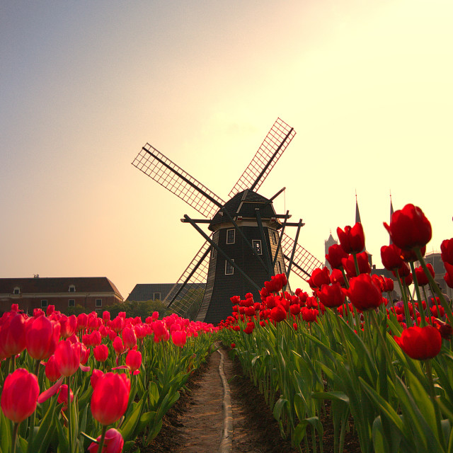"""Tulips and Windmill"" stock image"