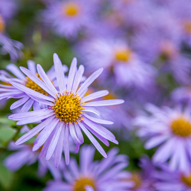 """Mauve Asters"" stock image"
