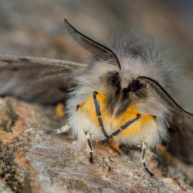 """""""Muslin Moth (Diaphora mendica)"""" stock image"""