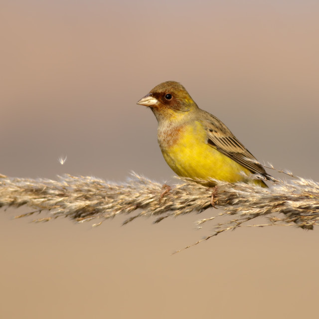 """Red headed bunting"" stock image"