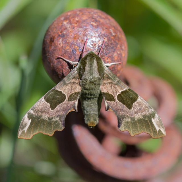 """Lime Hawk-moth (Mimas tiliae)"" stock image"