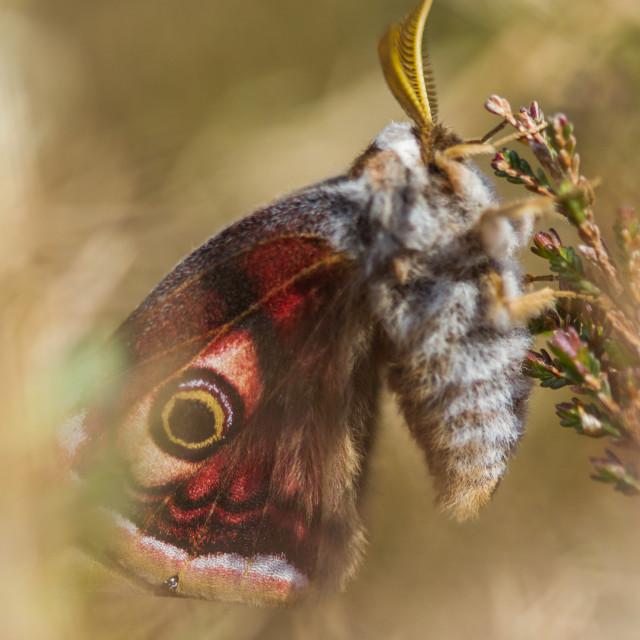 """Emperor Moth (Saturnia pavonia) - Male"" stock image"