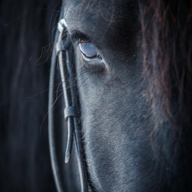 """Eye of Friesian horse"" stock image"