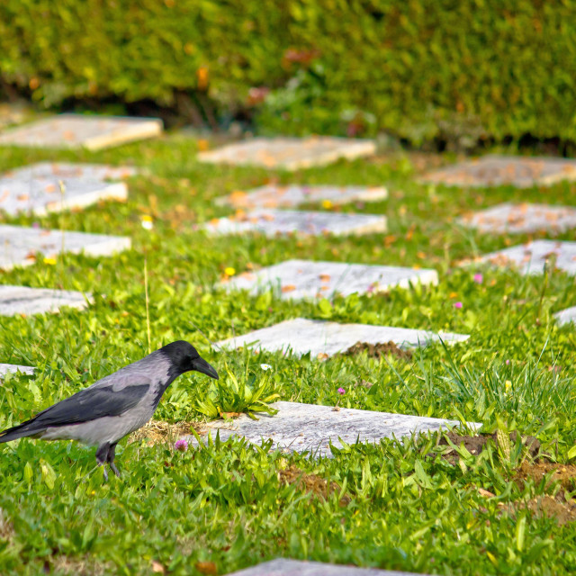 """Crow on unmarked grave scene"" stock image"