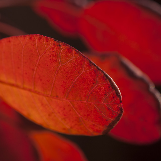 """Autumn colour of Cotinus leaves"" stock image"
