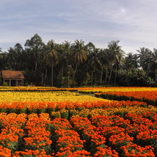 """The marigolds ' field in Vietnam"" stock image"