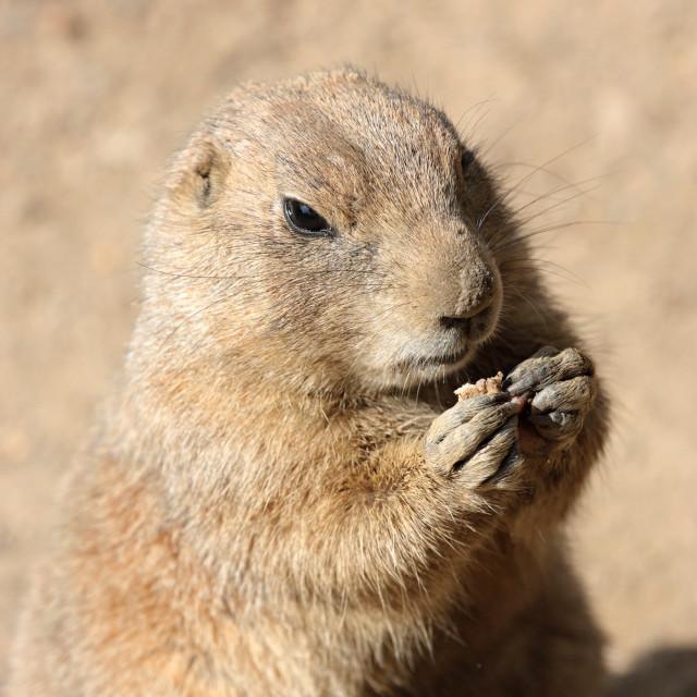 """Prairie dog eating some grass"" stock image"