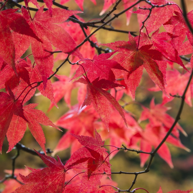 """Red Acer Leaves"" stock image"