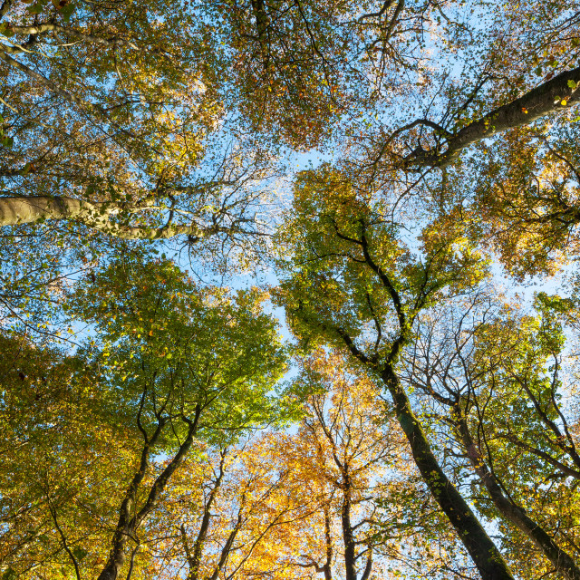 """Beech Tree Canopy"" stock image"