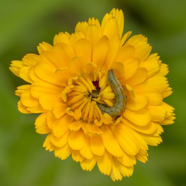 """Bordered Straw (Heliothis peltigera)"" stock image"