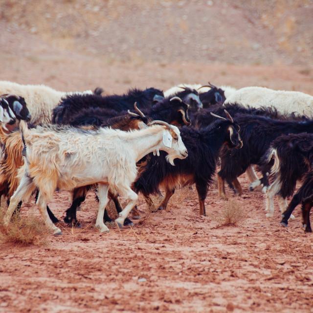 """Goat Herd in Morocco"" stock image"