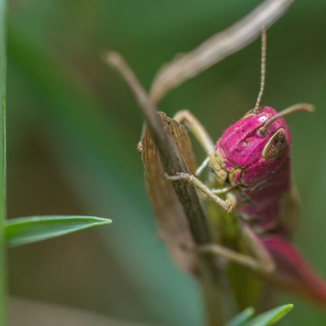 """Meadow Grasshopper (Chorthippus parallelus) - pink aberration"" stock image"
