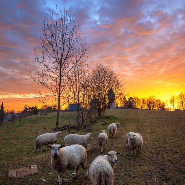 """""""Sheep at sunrise"""" stock image"""