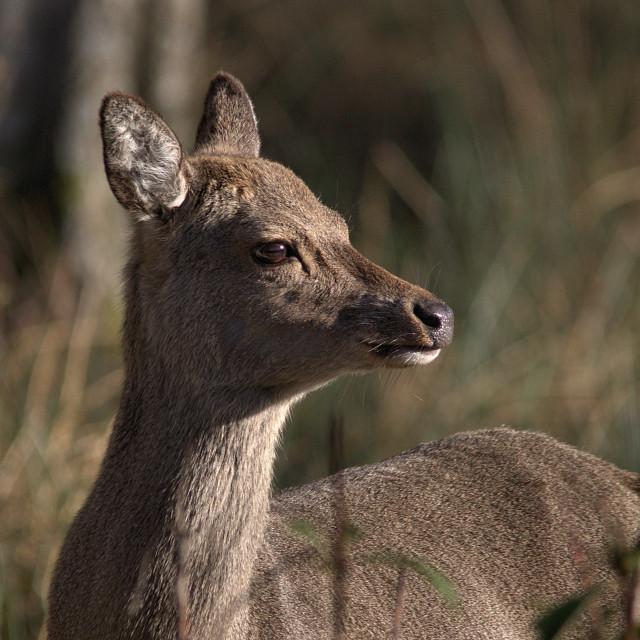 """Sika Deer"" stock image"