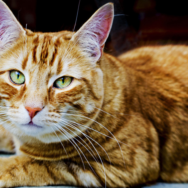 """""""The Ginger Cat"""" stock image"""