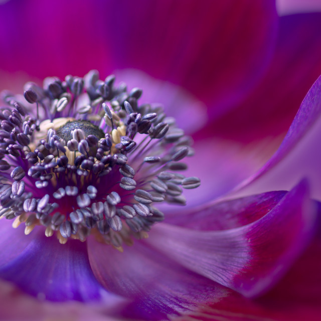 """Purple Anemone"" stock image"