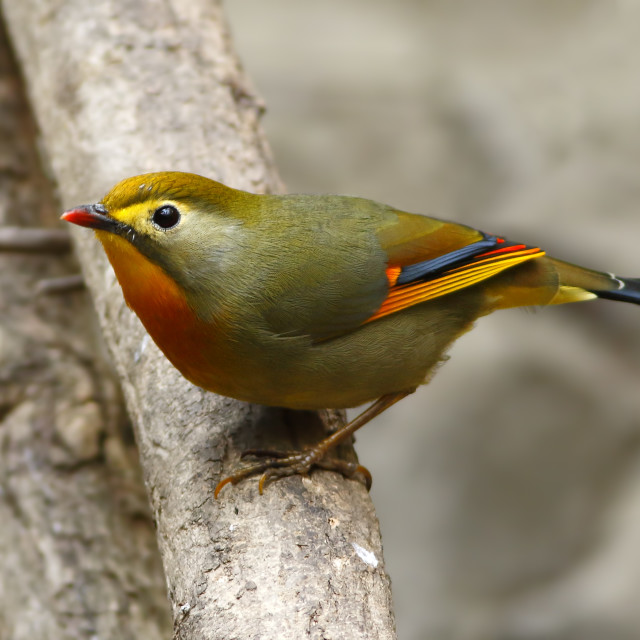 """""""Red-billed leiothrix"""" stock image"""
